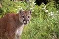 Mountain Lion Royalty Free Stock Image