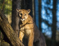 Mountain lion beautiful adult close up portrait Stock Photos