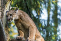Mountain lion beautiful adult close up portrait Royalty Free Stock Image