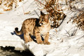 Mountain Lion Cub Stock Image