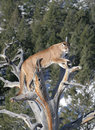 Mountain Lion in dead tree Royalty Free Stock Images