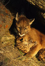 Mountain Lion Female with Kitten Stock Photography