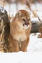 Mountain lion front portrait Royalty Free Stock Photo