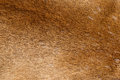 Mountain Lion Fur Background