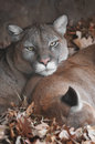 Mountain Lion Gaze Royalty Free Stock Image