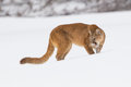 Mountain lion growling in the snow Royalty Free Stock Photo