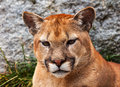 Mountain Lion Head Cougar Looking at You Royalty Free Stock Photography