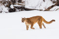 Mountain lion on a hunt Royalty Free Stock Photo