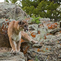 Mountain Lion preparing to jump Stock Photos