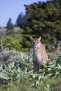 Mountain Lion Puma concolor Stock Photo