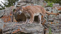 Mountain Lion Puma concolor Stock Images