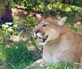 Mountain lion resting in a shade of tree on hot summer day observing Stock Photography