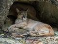 Mountain Lion sleeping Royalty Free Stock Photo