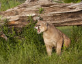Mountain Lion Snarling Royalty Free Stock Photo
