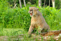 Mountain Lion snarls showing his teeth. Royalty Free Stock Photo