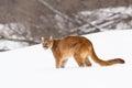 Mountain lion on snowy ridge Royalty Free Stock Photo