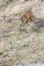 Mountain lion stalking prey on canyon ridge Royalty Free Stock Photos