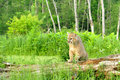 Mountain Lion steps on a fallen log. Royalty Free Stock Photo