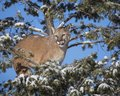 Mountain Lion up a tree Royalty Free Stock Photo