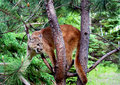 Mountain Lion up a tree. Royalty Free Stock Photo