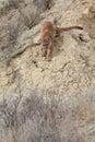 Mountain lion walking down steep ravine Royalty Free Stock Photo