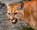 Mountain LionCougar Puma Concolor Stock Photos