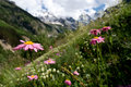 Mountain meadow with flowers Royalty Free Stock Photo