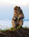 Mountain monkey sitting and eating biscuit looking curiously Stock Images