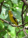 Mountain pepper bird rest on the branches of the yellow Stock Images