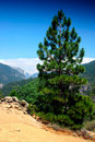 Mountain Pine Stock Photos
