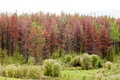 Mountain Pine Beetle killed pine forest Royalty Free Stock Photo