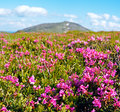 Mountain rhododendron blossoming Royalty Free Stock Photography