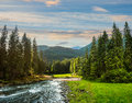 Mountain river in pine forest at sunrise Royalty Free Stock Photo