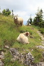 Mountain Sheep Stock Image
