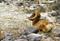 Mountain sheep bighorn sitting in a clearing Royalty Free Stock Images