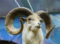 Mountain sheep full curl trophy ram close up portrait Stock Images