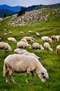 Mountain sheep grazing sheeps into the in the mid summer Stock Photography