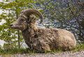 Mountain sheep rests on the side of a gravel road Stock Images