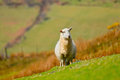 Mountain sheep welsh ewe with copy space Royalty Free Stock Image