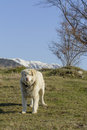 Mountain Shepherd Dog