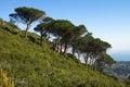 Mountain slope with Stone Pine trees - Pinus pinea Royalty Free Stock Photo