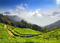 Mountain tea plantation in India Royalty Free Stock Photo