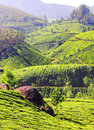Mountain tea plantation in India Stock Photo