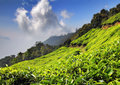 Mountain tea plantation in India Stock Photography