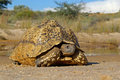 Mountain tortoise Royalty Free Stock Photos