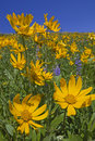 Mountain view of Heartleaf Arnica and Lupine Stock Photo