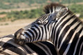 Mountain zebra close up of a equus in addo elephant national park south africa Royalty Free Stock Photos