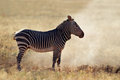 Mountain zebra in dust cape equus national park south africa Royalty Free Stock Photos