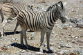 Mountain zebra equus at etosha national park namibia Royalty Free Stock Photos