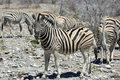 Mountain zebra equus at etosha national park namibia Stock Image